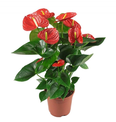 Çiçek Ortaboy Antorum