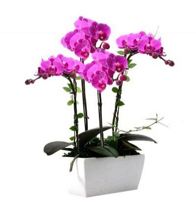 Çiftli beyaz orkide 4 Dallı Mor Orkide
