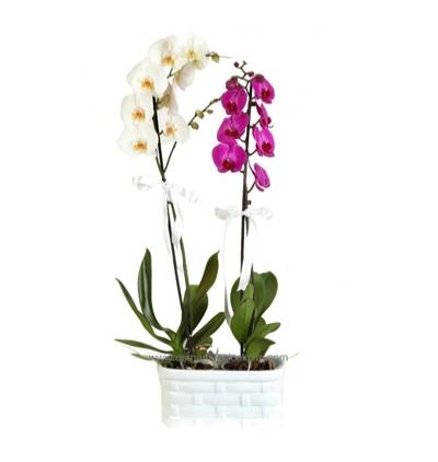 lilyum ve mevsim Çiçekleri Mor ve Beyaz Orkide