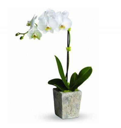 ortaboy antorum Tekli Beyaz Orkide