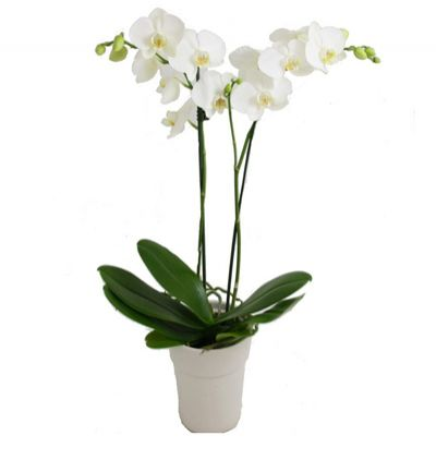 flower delivery turkey Orchids 2 Branches